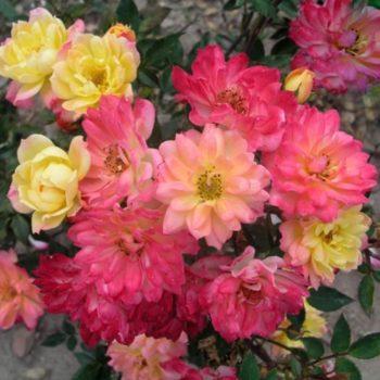 Роза бордюрная Беби Маскарад-1