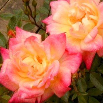 Роза бордюрная Беби Маскарад-2