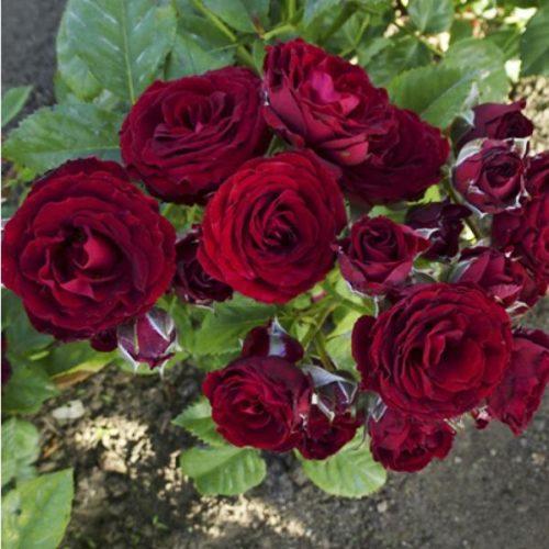 Роза бордюрная Блэк Джек