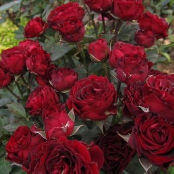 Роза бордюрная Блэк Джек-1
