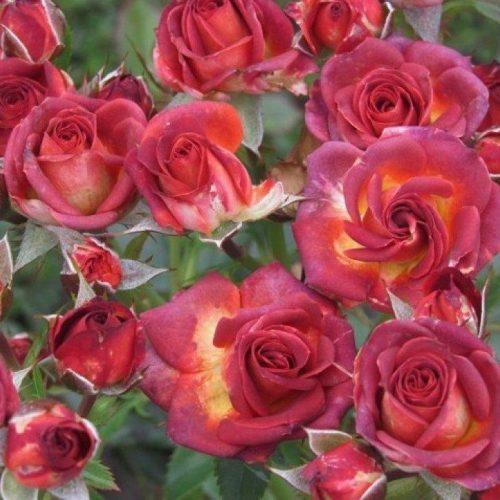 Роза бордюрная Браун Шугар