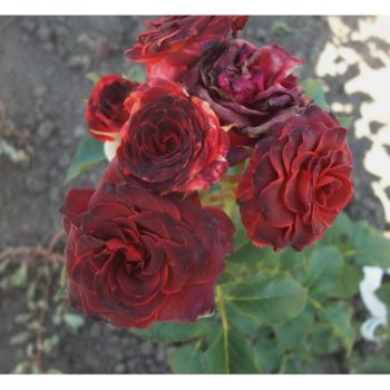 Роза бордюрная Браун Шугар-1