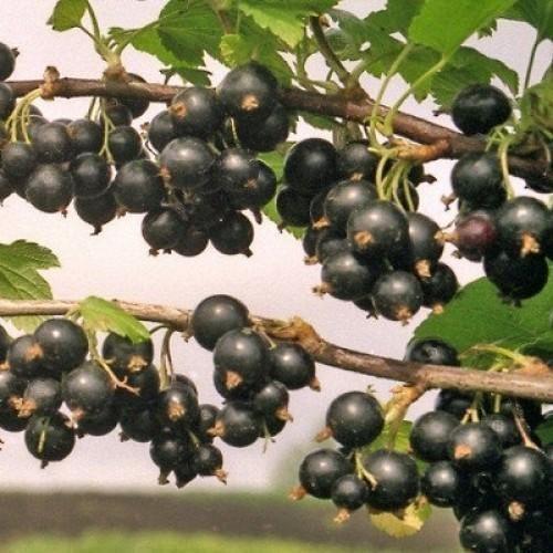 Смородина черная Муравушка
