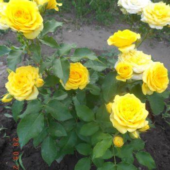Роза бордюрная Еллоу Долл-1