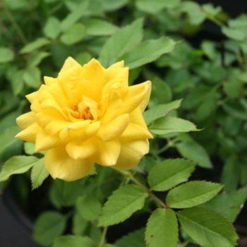 Роза бордюрная Еллоу Долл-2
