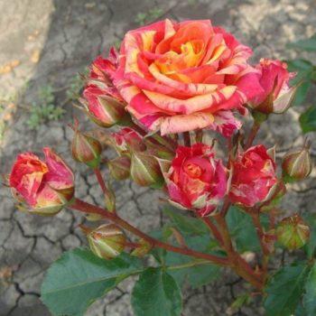 Роза бордюрная Файнер Флеш-2