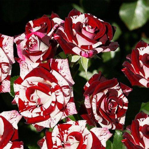 Роза бордюрная Флеш Найт