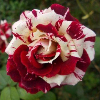 Роза бордюрная Флеш Найт-1