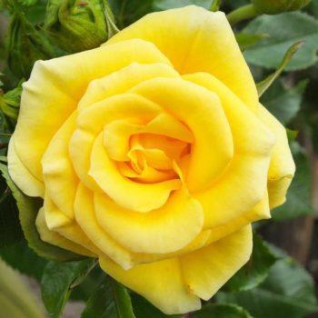 Роза бордюрная Фловер Повер Голд-1