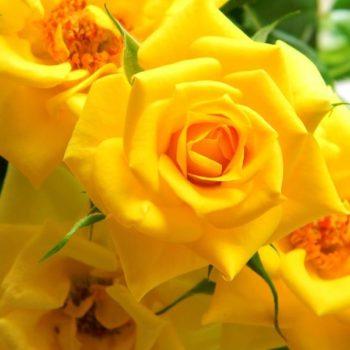 Роза бордюрная Фловер Повер Голд-2