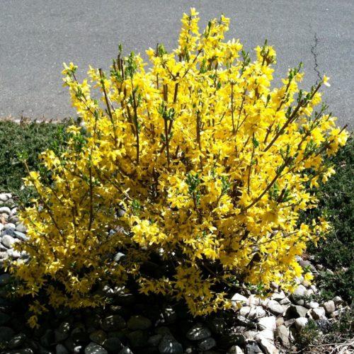 Форзиция промежуточная minigold