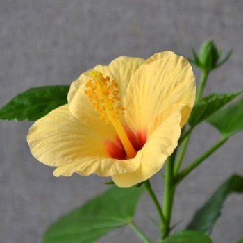 Гибискус Киото желтый (Hibiscus Kyoto Yellow)-2