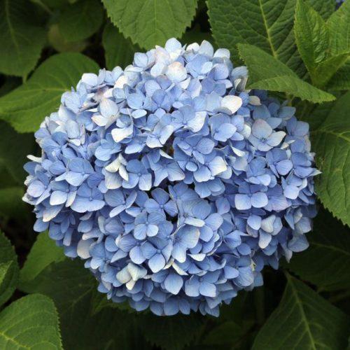 Гортензия крупнолистная Никко Блю (Nikko Blue)