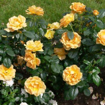 Роза бордюрная Изи Гоуинг-1