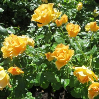 Роза бордюрная Изи Гоуинг-2