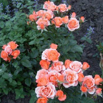 Роза бордюрная Изис-1
