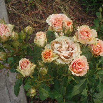 Роза бордюрная Изис-2