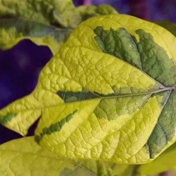 Катальпа бигнониевидная Кене (Catalpa bignonioides Koehnei)-2