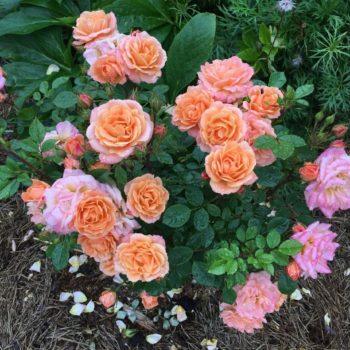 Роза бордюрная Клементин-1