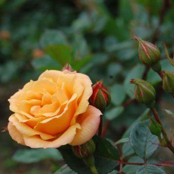 Роза бордюрная Клементин-2