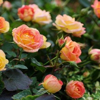 Роза бордюрная Колибри-1