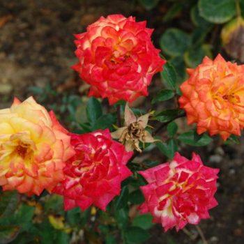 Роза бордюрная Колибри-2
