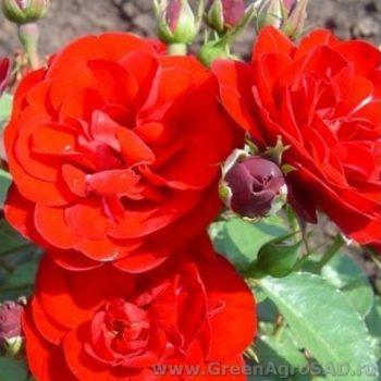 Роза бордюрная Кордула-2