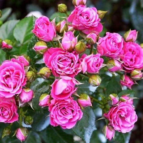 Роза бордюрная Лавли Лидия