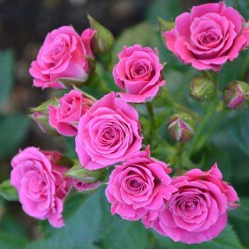 Роза бордюрная Лавли Лидия-1