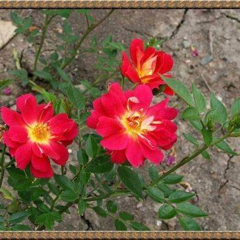 Роза бордюрная Литтл Флирт-1