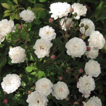 Роза бордюрная Литтл Вайт-1