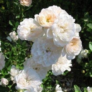 Роза бордюрная Литтл Вайт-2