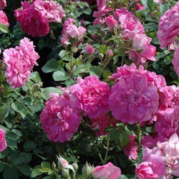 Роза бордюрная Луис Джолиет-1