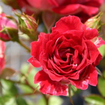 Роза бордюрная Мейди-1