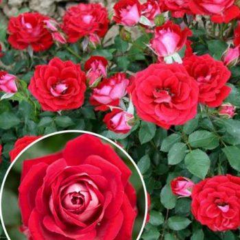 Роза бордюрная Мейди-2