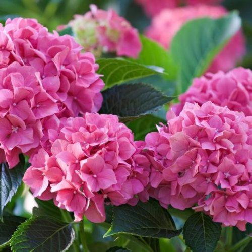 Гортензия Древовидная розовая