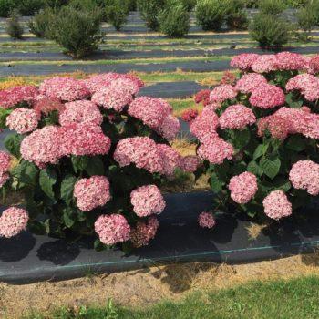 Гортензия Древовидная розовая-1
