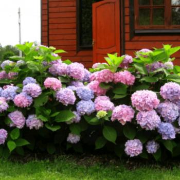 Гортензия Древовидная розовая-2