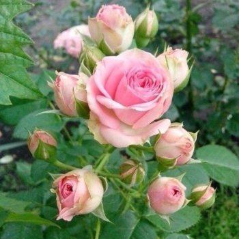Роза бордюрная Мини Эден-1