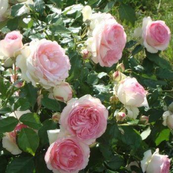 Роза бордюрная Мини Эден-3