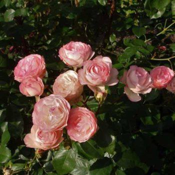 Роза бордюрная Мини Эден-2