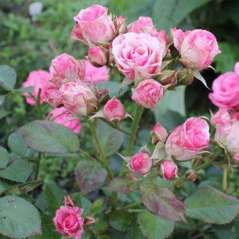 Роза бордюрная Пинк Флэш-2