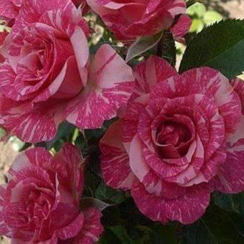 Роза бордюрная Пинк Флэш-1