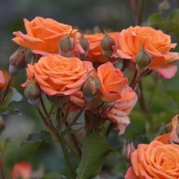 Роза бордюрная Пинк Оранж-2