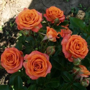 Роза бордюрная Пинк Оранж-1