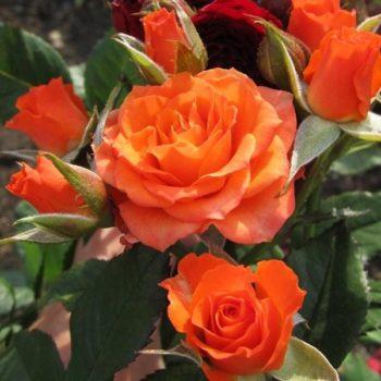Роза бордюрная Аллергия-1
