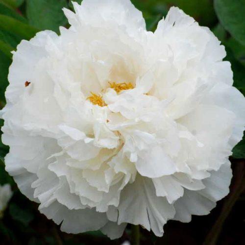 Пион древовидный Белый снег (Бай Сю Гонг Жу)
