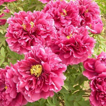 Пион древовидный Очаровательная весна-2