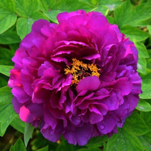 Пион древовидный Пурпурная ночь