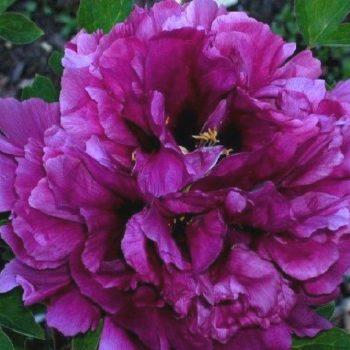Пион древовидный Пурпурная ночь-2